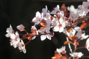Cherry plum at the Garden Tomb